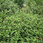crops_plantation