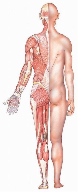 Muscles dans le corps humain