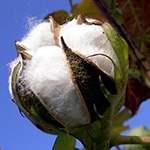 stage_cotton