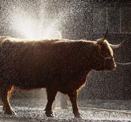 cow-hydrogen-peroxide