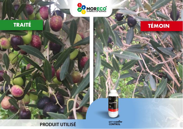 11- Résultats sur les Olives