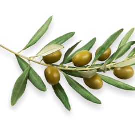 Moreco-Resultats-et-effects-orthagrow-OLIVES--au-Maroc-OK